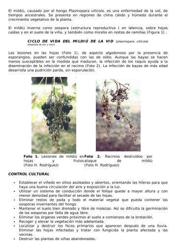 ciclo de vida del mildiú de la vid