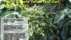 Tomato Yellowleaf Curl Virus - Page 4