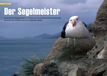 Schwarzbrauenalbatross - Der Segelmeister - Polar-Reisen.ch