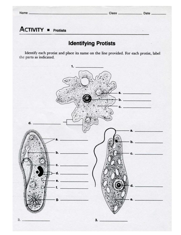 worksheet Protist Worksheet collection of protist worksheet adriaticatoursrl worksheets protists pureluckrestaurant free worksheets