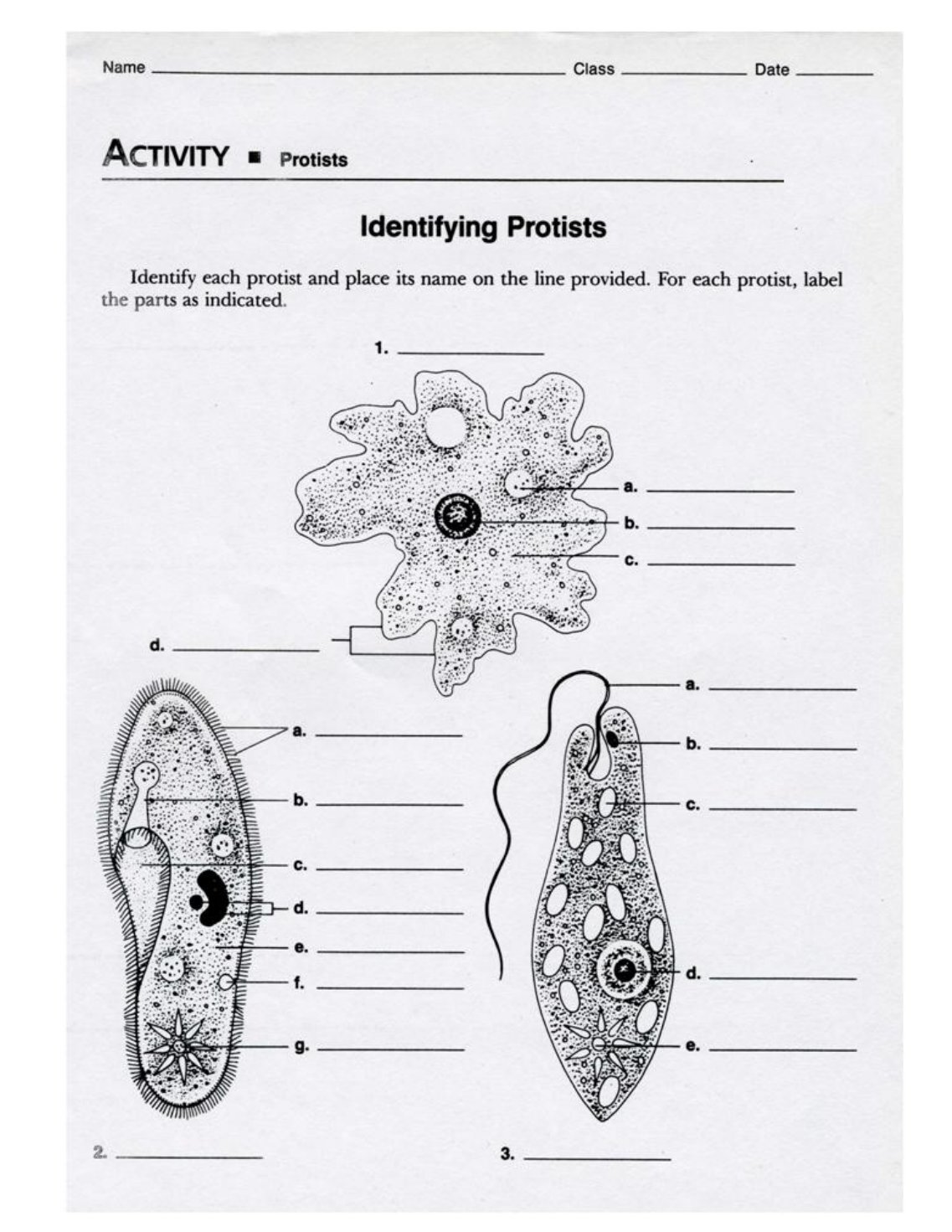 protist dichotomous key worksheet activity | Activities ...