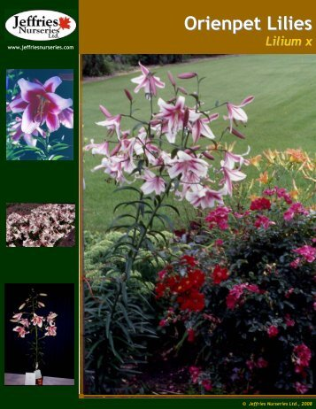 Orienpet Lilies