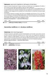 Haemanthus multiflorus siehe Scadoxus ... - Frikarti Stauden AG