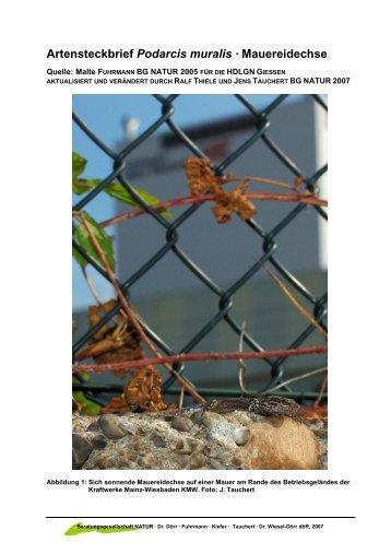Artensteckbrief Mauereidechse - Beratungsgesellschaft NATUR