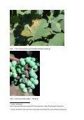 Die Veränderung der Anbaugebiete des Rieslings bei ... - Seite 5