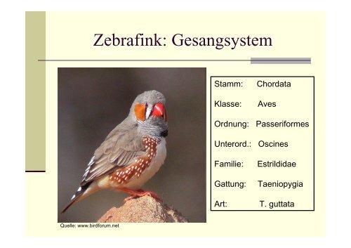 Zebrafink: Gesangsystem
