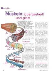 Muskeln:quergestreift und glatt - Ionto-Comed GmbH