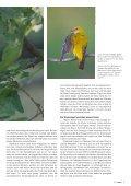 Gelber Flöter im Wald - natur4ort.ch - Seite 2