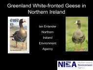 Anser albifrons flavirostris – Greenland white-fronted goose - GWFG ...