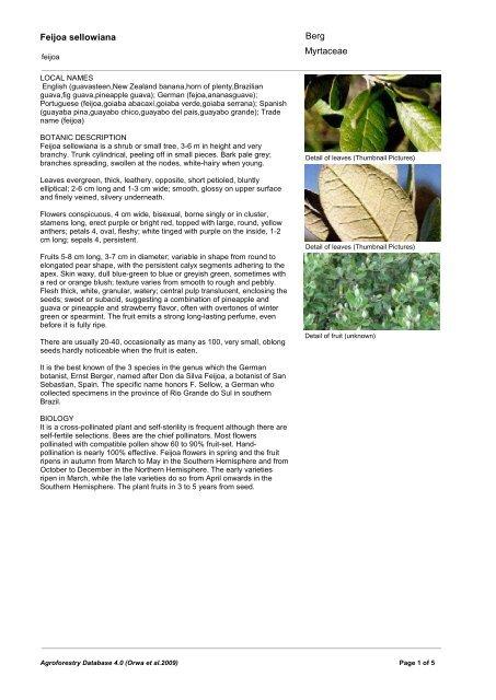 pcs Feijoa seeds 50 Acca Sellowiana, Pineapple Guava, Guavasteen