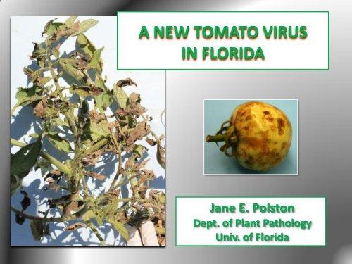 A NEW TOMATO VIRUS IN FLORIDA