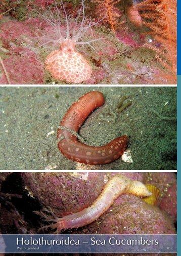 Holothuroidea - Marine Benthic Fauna of Chilean Patagonia