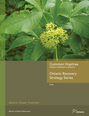 DRAFT Recovery Strategy for the Common Hoptree - Ministry of ...