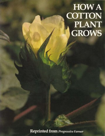 How a Cotton Plant Grows - eXtension
