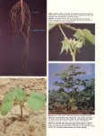 How a Cotton Plant Grows - eXtension - Page 7