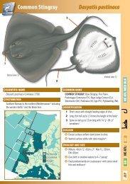 Common Stingray Dasyatis pastinaca - The Shark Trust