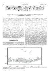Observations of Flores Scops Owl Otus alfredi on - Kutilang Indonesia