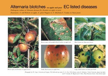 Alternaria blotches on apple and pear (PDF 87KB