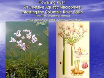 Flowering Rush - Center for Invasive Plant Management