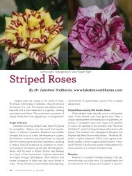 Striped Roses - American Rose Society