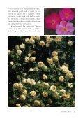 Species Roses at La Bonne Maison - Heritage Rose Foundation - Page 6