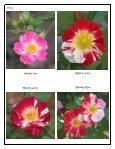 Volume 4 in PDF Format - Paul Zimmerman Roses - Page 4