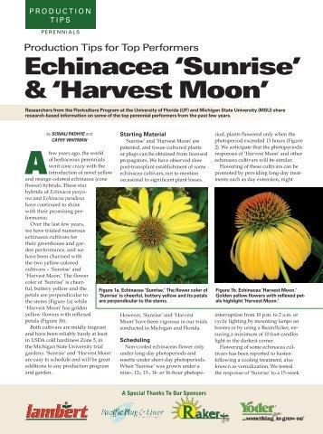 Echinacea 'Sunrise' - Floriculture at Michigan State University