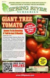 GIANT TREE TOMATO - Spring River Nurseries
