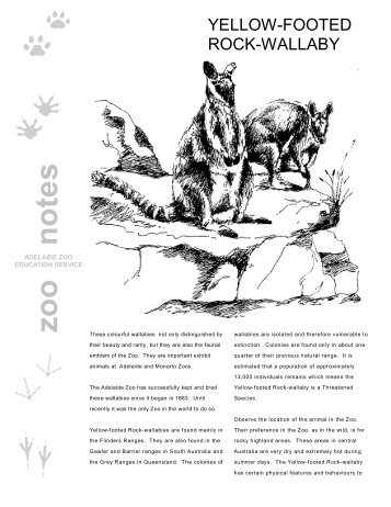 Yellow-footed Rock Wallaby - Zoos South Australia