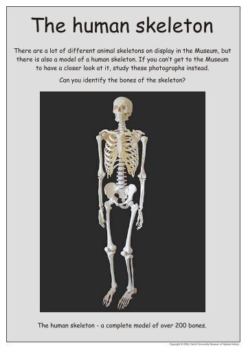 Human Skeleton Anatomy Activity Ask A Biologist