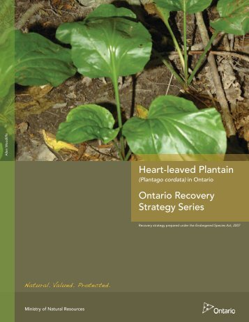Recovery Strategy for the Heart-leaved Plantain - Ministry of Natural ...