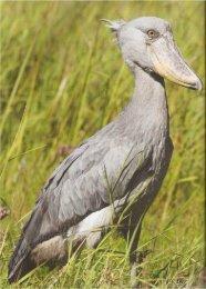 Shoebill ABB16(5)66-67.pdf - Kasanka Trust Zambia