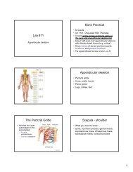 Lab #11 Bone Practical Appendicular skeleton The Pectoral Girdle ...