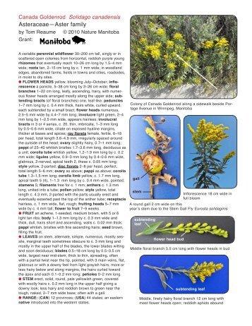 Canada Goldenrod - Nature Manitoba