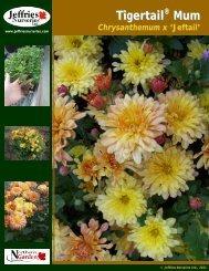 Tigertail ® Mum Chrysanthemum x 'Jeftail' - Jeffries Nurseries Ltd.