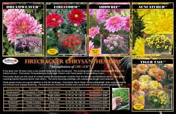 FIRECRACKER CHRYSANTHEMUMS - Jeffries Nurseries Ltd.