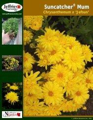 Suncatcher ® Mum Chrysanthemum x 'Jefsun' - Jeffries Nurseries Ltd.