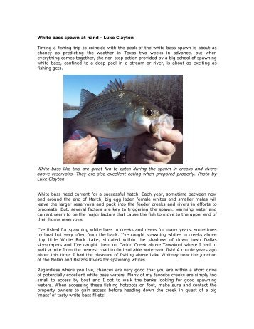 White bass spawn at hand - Your Hunting & Fishing Network