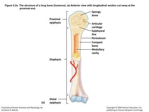 bone medullary cavity diaphysis distal epiphysis
