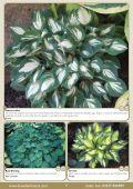 Spring Catalogue 2013 - Bowden Hostas - Page 7