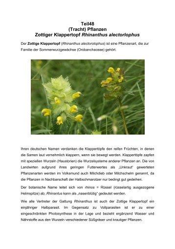 Teil48 (Tracht) Pflanzen Zottiger Klappertopf Rhinanthus alectorlophus