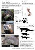 American Mink (Mustela vison) - Page 2