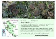 Peziza celtica (Boud.)Moser