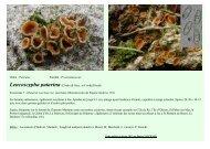 Ordre : Pezizales Famille : Pyronemataceae Leucoscypha patavina ...