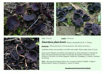 Ordre : Pezizales Famille : Pezizaceae Smardaea planchonis ...