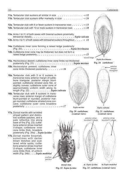 Sepiidae 729 6a  Cuttlebo