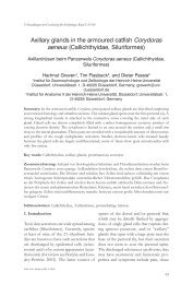 Axillary glands in the armoured catfish Corydoras aeneus - Biologie ...