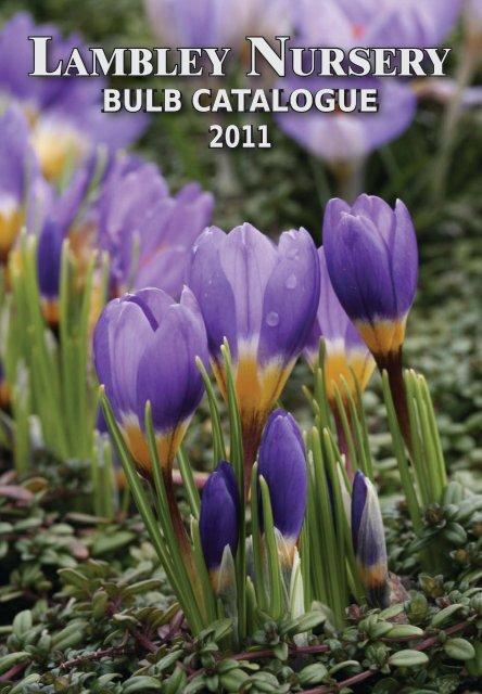 Free Postage UK Lady Blue 10 Muscari bulbs ready to plant