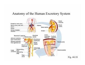 Anatomy of the Human Excretory System