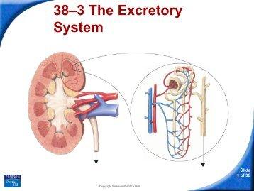 38–3 The Excretory System